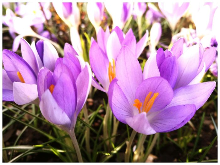 spring flowers Pink Flower Spring Time Seasonal garden flowers Sunlight Petals Of Flowers Nature Outdoors Crocus flavus #wildflowers #guadarrama #primavera #spring #flores nature mountain Crocuses Spring