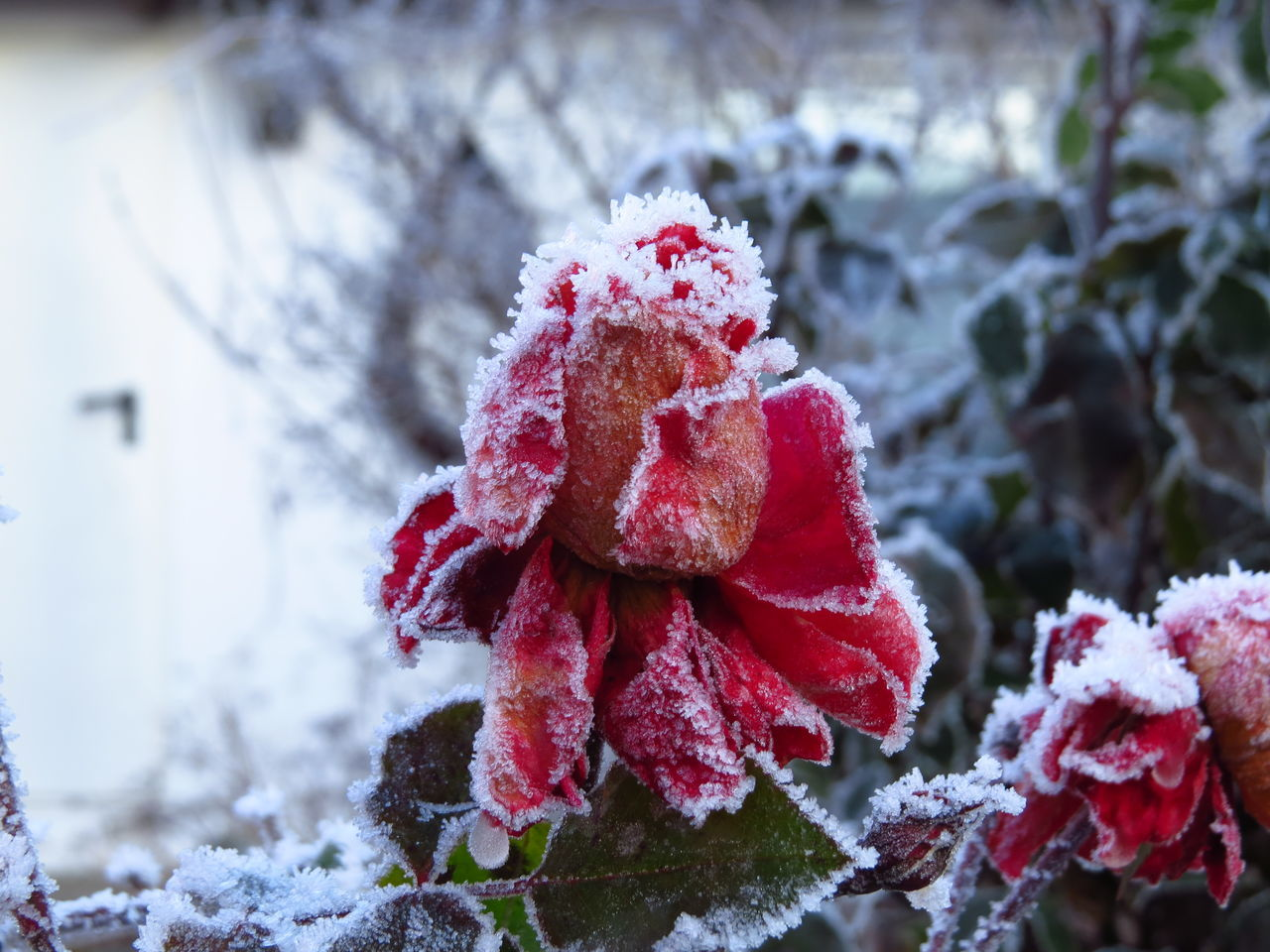 Cold Cold Days Cold Temperature Cold Weather Flower Head Fragility Frost Frosty Frosty Mornings Frozen Frozen Nature Hoar Frost Hoarfrost Icy Rime Rose - Flower Roses White Frost Winter Winter Scene Winter Scenery Winter Season Winter Wonderland Winter_collection Wintertime