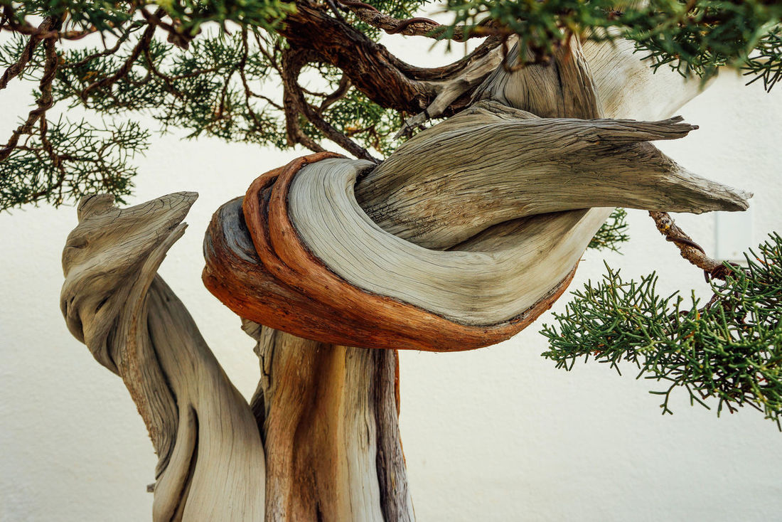 Bonsai Close Up Cultures Garden Movement Potted Textured  Tree Wood