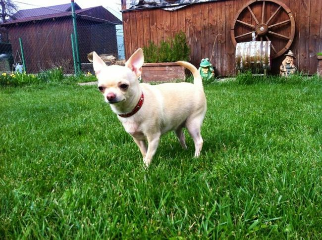 Chihuahua Puppy Love Of My Life Nature