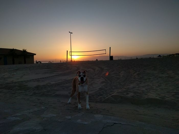 Boxer dog at sunset at Playa del Rey beach in Los Angeles California Sunset Sand Sky Domestic Animals Beach Dog Life Boxer Dogs Rule Los Ángeles California Sunset Playa Del Rey Calming Image Beautiful View Beautiful Sunset First Eyeem Photo