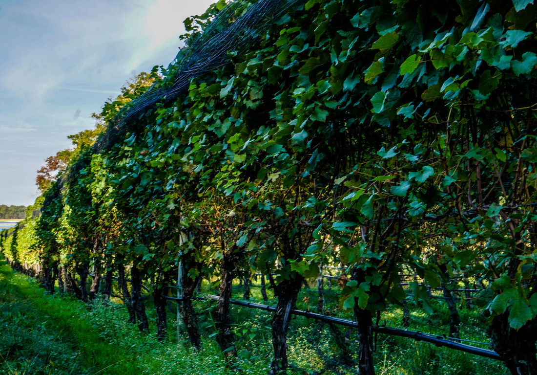 Afternoon Autumn Autumn Colors Fall Colors Nature Plant Vineyards  Clouds And Sky Fall Nature_collection No People Sony A6000 Sun Vineyards In Autumn Wine