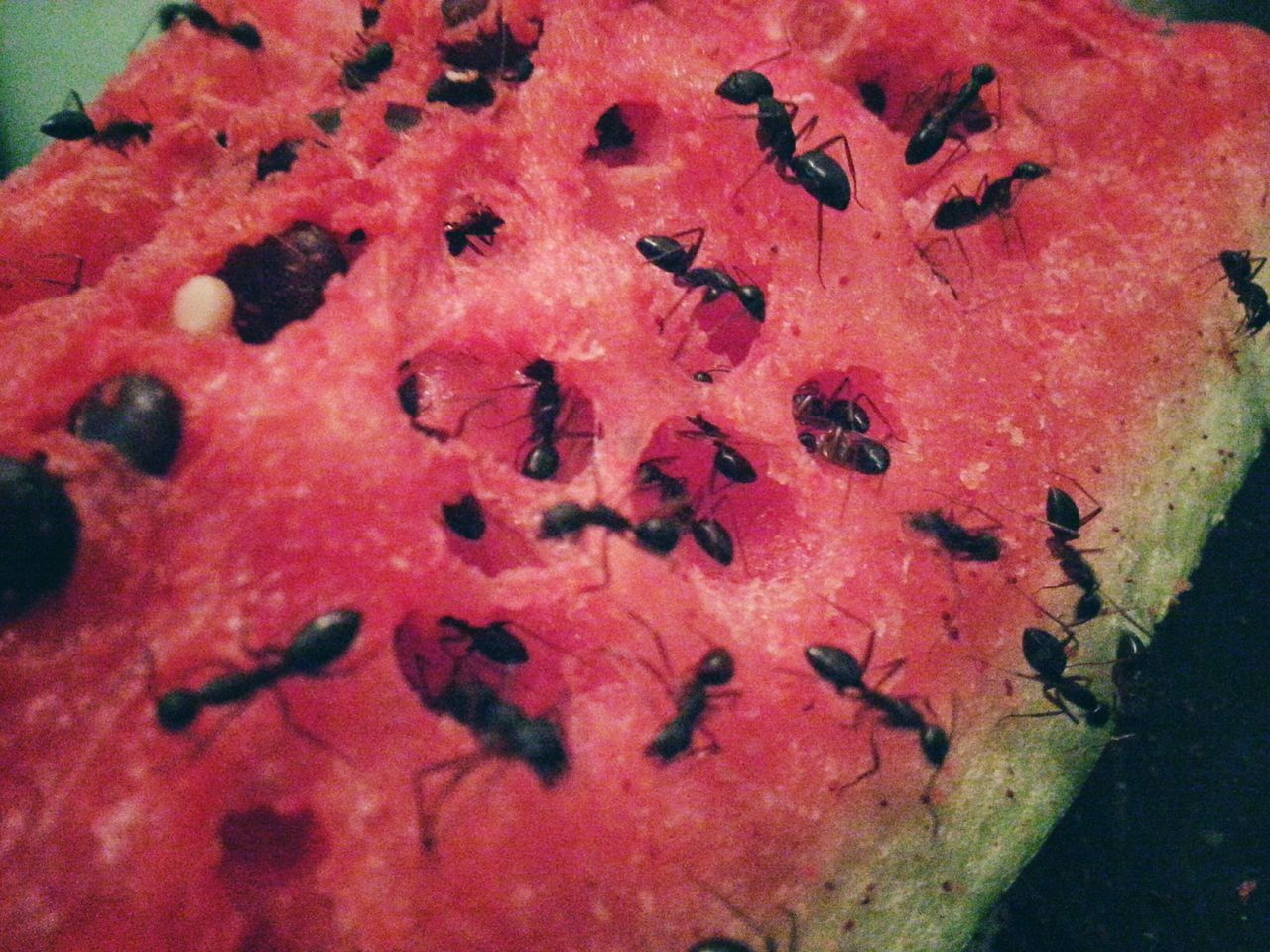 Red Close-up Food Nature Indoors  Freshness Water Melon Ants Eating I Show The World What I See
