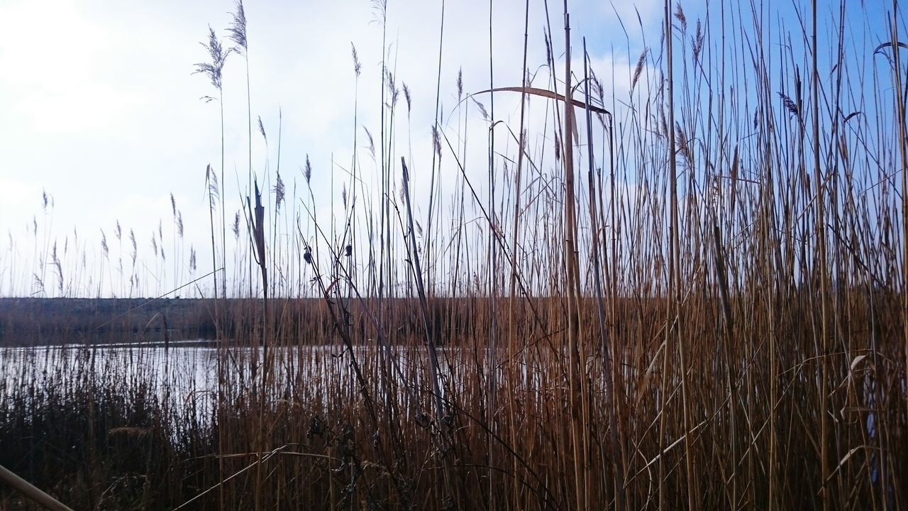 nature, tranquility, growth, water, tranquil scene, cattail, no people, grass, plant, lake, day, beauty in nature, outdoors, scenics, sky