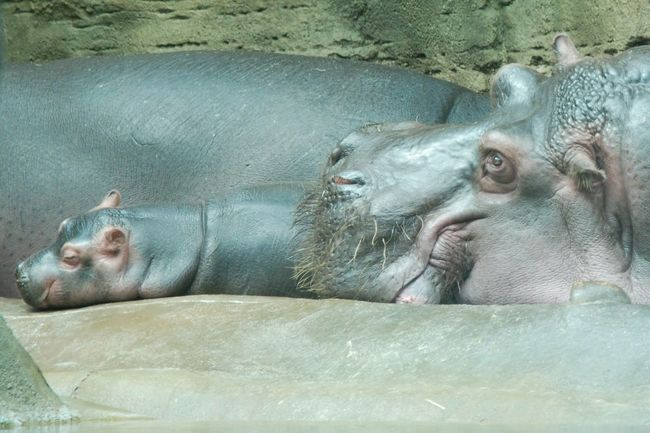 Baby Hippo Mothernature Family Zoo Animals Relaxing