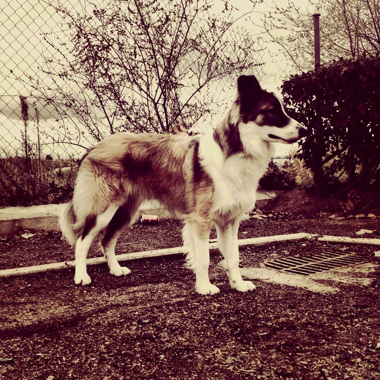 Border Collie Bordercollie  Pets Puppy Perros  Perromolon Mascotas Ilovemydog IloveIT ♡
