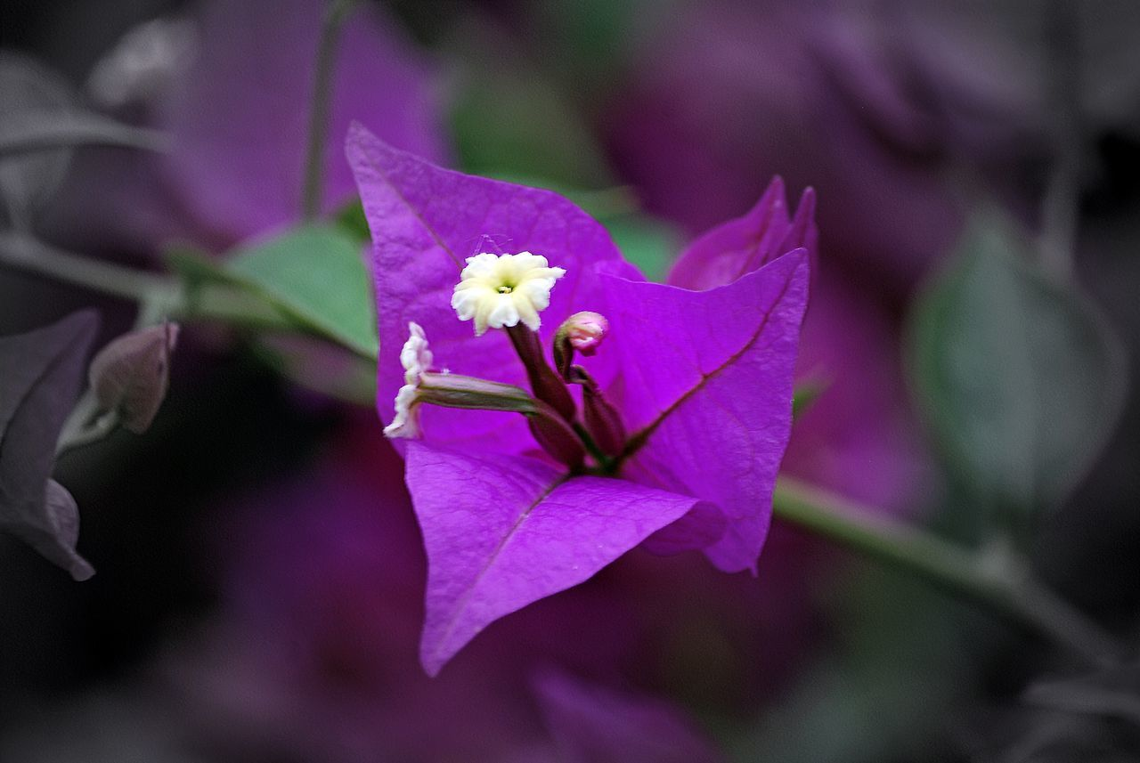 flower, petal, fragility, flower head, beauty in nature, nature, freshness, growth, blooming, purple, focus on foreground, no people, close-up, day, outdoors, plant, iris - plant, periwinkle