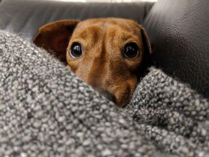 "Did you say ""food"" ? EyeSelect Dog Daschund Pets Indoors  One Animal Selective Focus Domestic Animals Animal Head"