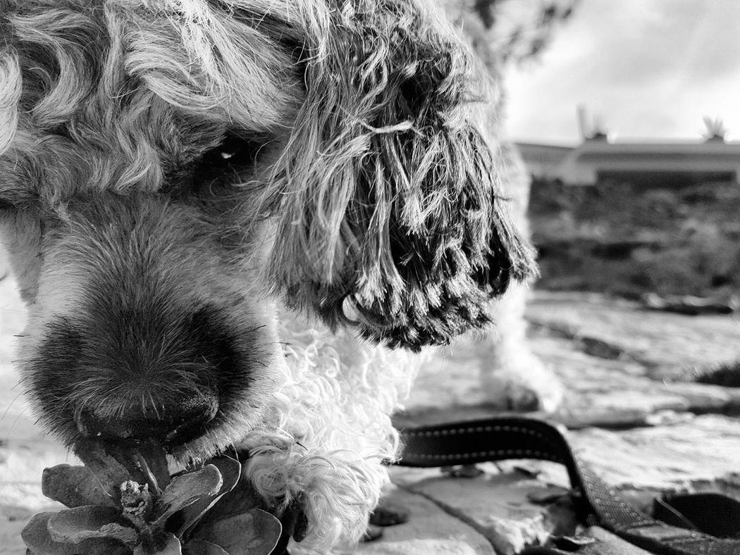 Dog Cute Dog  Cute Pets Peekapoo Black And White šolta Croatia Monochrome Photography