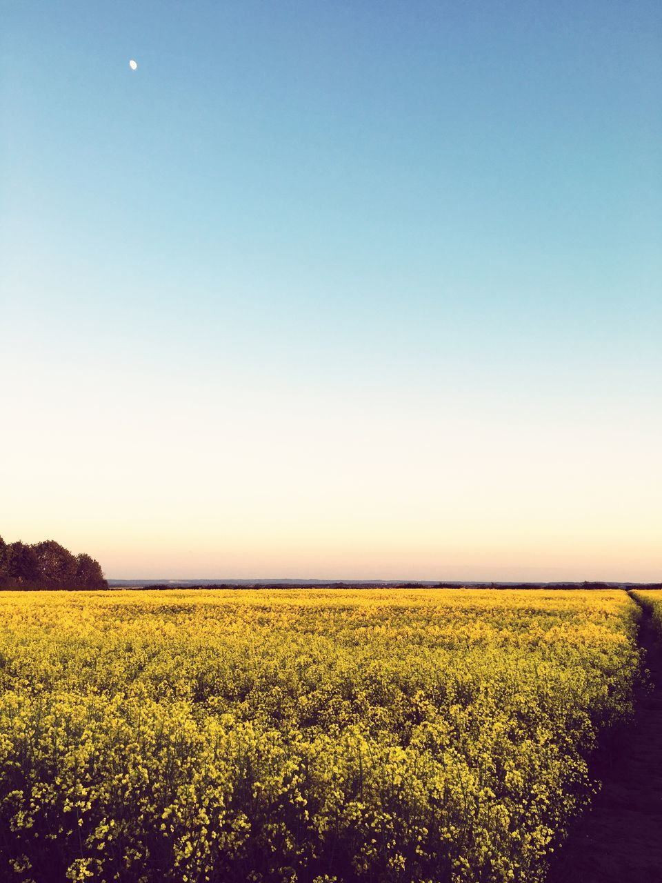 agriculture, field, nature, landscape, beauty in nature, crop, growth, tranquility, tranquil scene, farm, scenics, rural scene, yellow, clear sky, oilseed rape, no people, plant, flower, cultivated, mustard plant, outdoors, day, sky, freshness