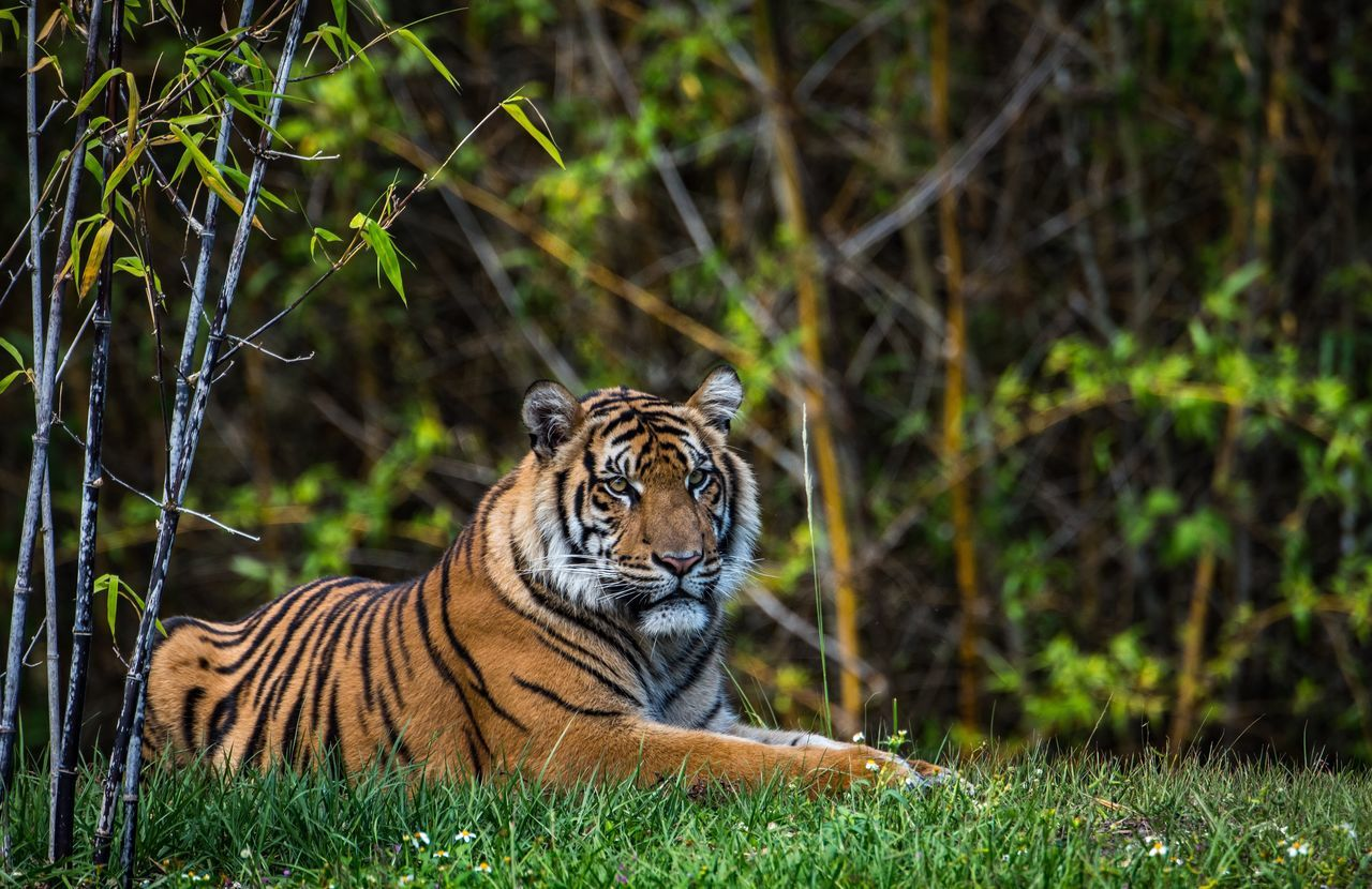 Chillin Tiger Animals In The Wild Animal Wildlife Grass One Animal Nature No People Outdoors Forest Day Animal Themes Portrait Mammal