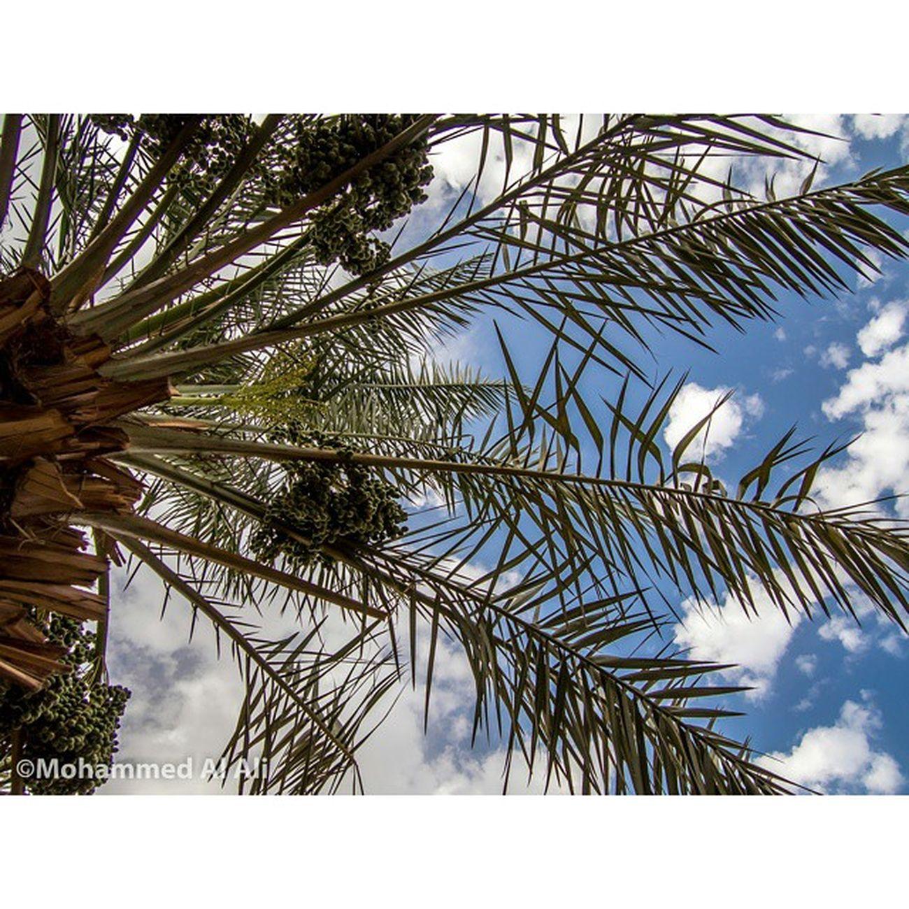 Olympus OlympusPEN PL7 20mm 1 .7 Lens Lumix Macro Micro_four_third Color Blur Palm Basrah Iraq Mft Wood Shadow Sky Creative Clouds