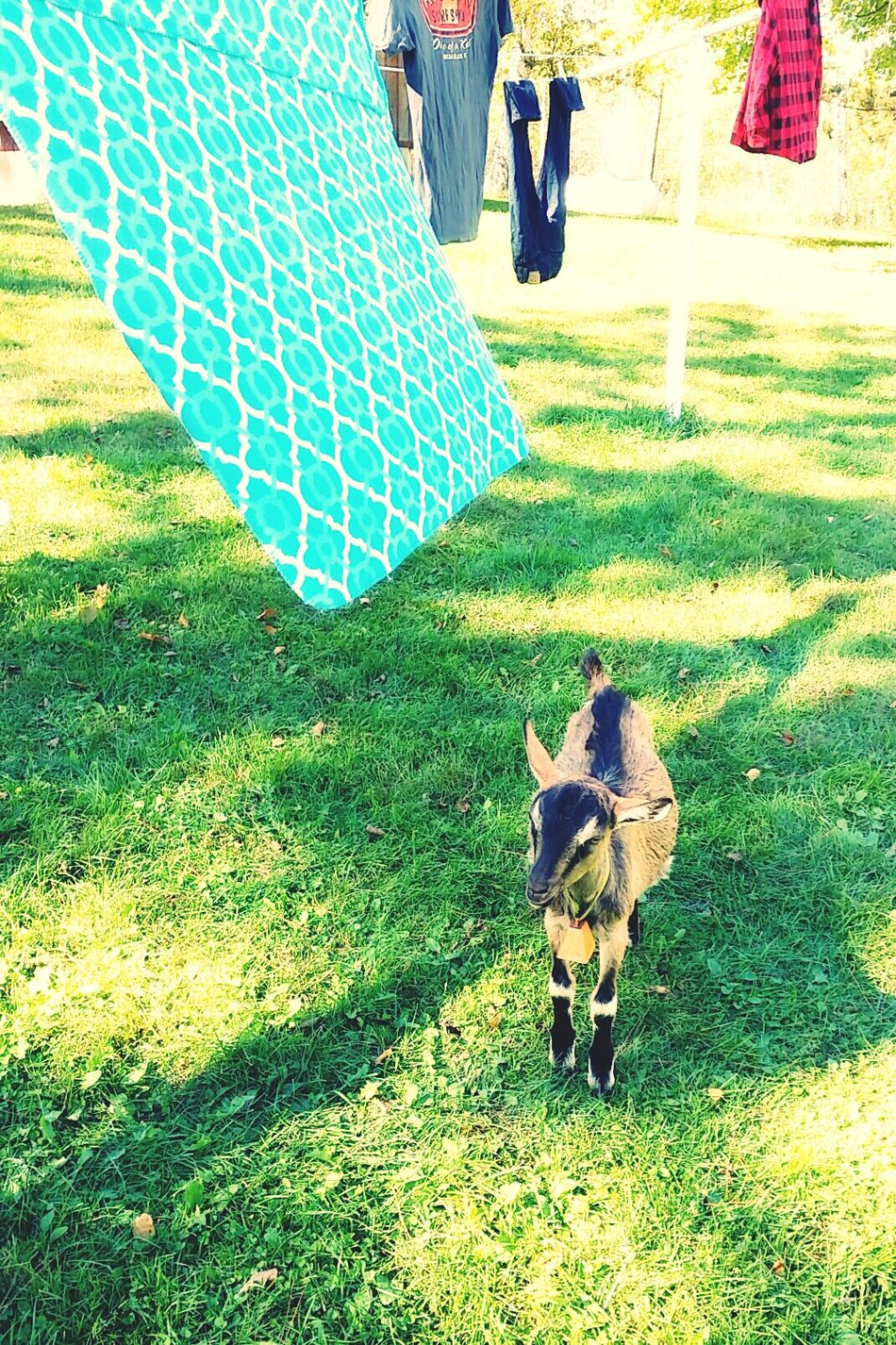 Capture The Moment Pet Photography  Milo & Me Enjoying Life Goats Baby Goat