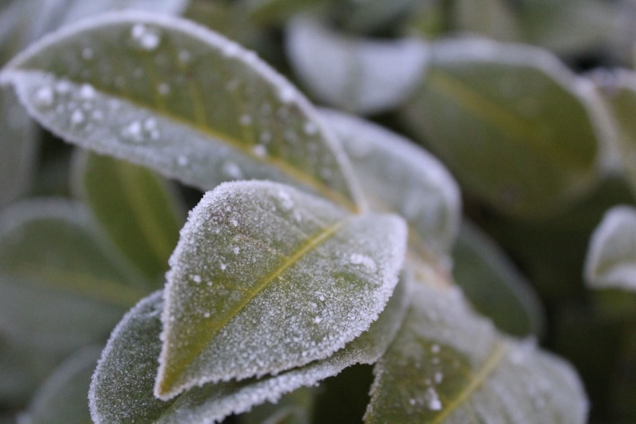 Beauty In Nature Close-up Day Dew Drop Drops Focus On Foreground Fragility Freshness Frozen Frozen Nature Growth Leaf Leaves Nature Nature Photography Nature_collection No People Outdoors Plant RainDrop The Purist (no Edit, No Filter) Water Winter Winter Wonderland