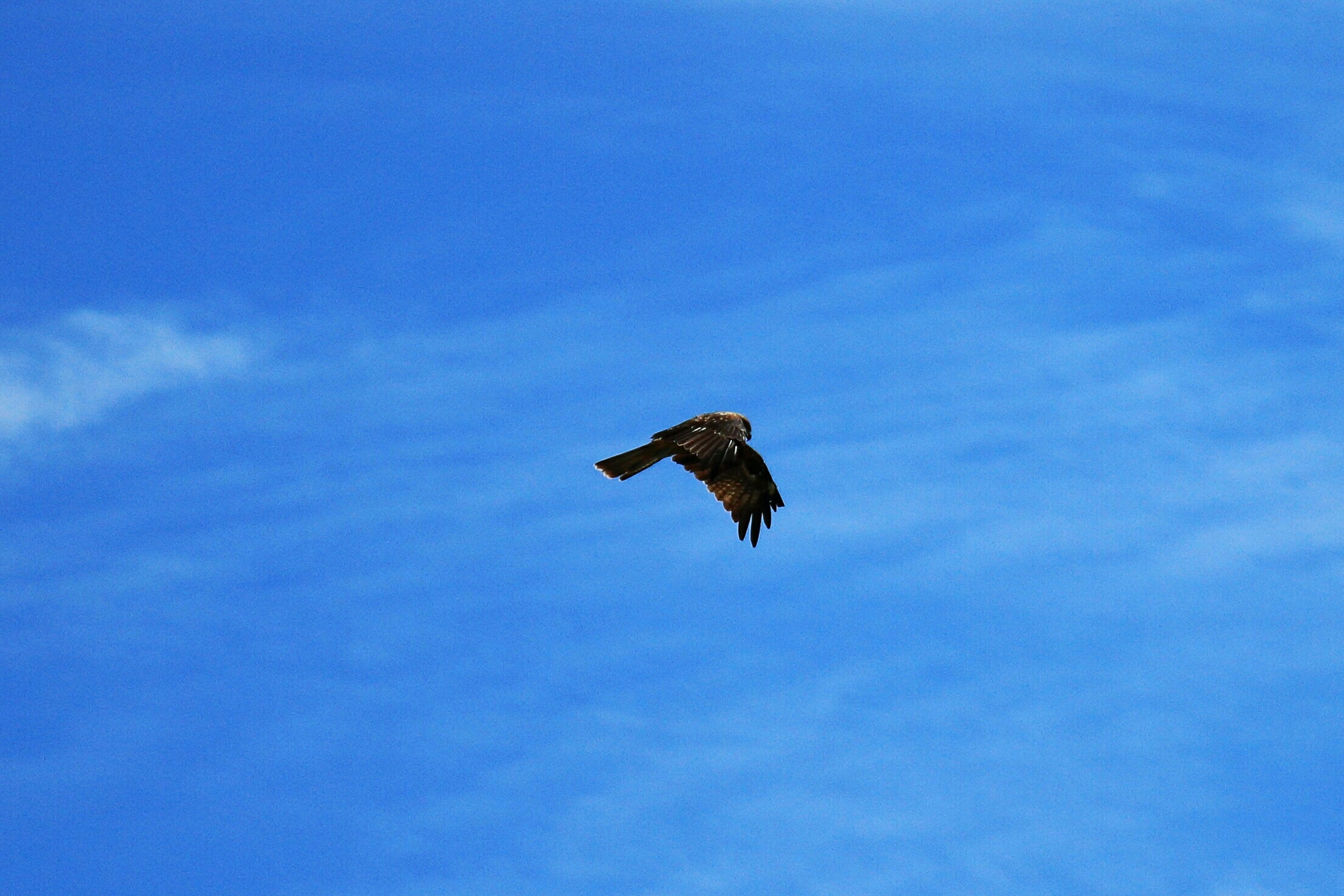 low angle view, flying, bird, animal themes, one animal, mid-air, animals in the wild, sky, spread wings, wildlife, blue, nature, cloud - sky, silhouette, outdoors, freedom, no people, full length, on the move, day