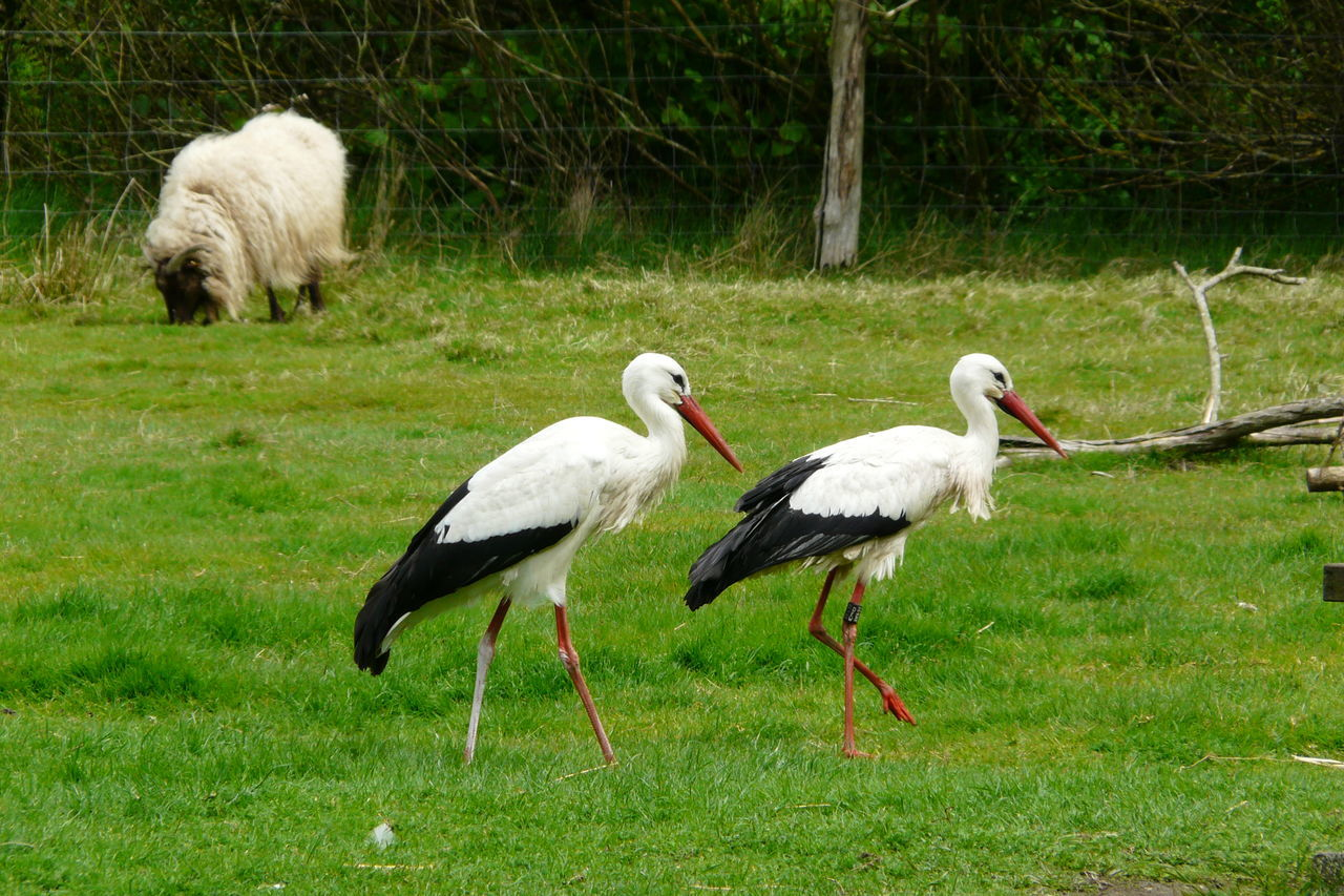 animal themes, stork, animals in the wild, bird, white stork, nature, grass, animal wildlife, green color, outdoors, no people, day, beauty in nature