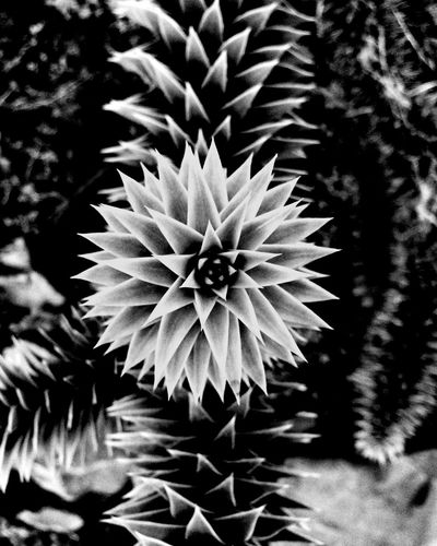 Monkeypuzzletree MonkeyPuzzle Growth Plant Nature No People Close-up Flower Beauty In Nature Outdoors Day Fragility Freshness Needle Flower Head Blackandwhite Highkey Symmetry View From Above first eyeem photo