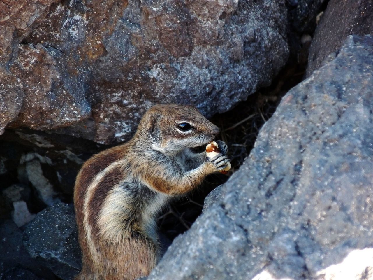High Angle View Of Chipmunk Holding Food By Rocks