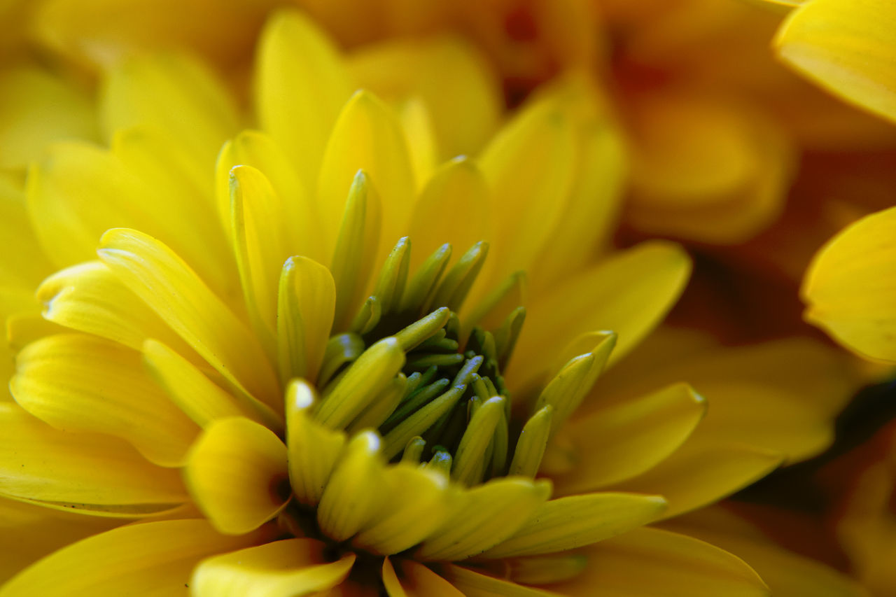 flower, yellow, petal, freshness, fragility, flower head, beauty in nature, nature, growth, close-up, full frame, backgrounds, selective focus, no people, plant, blooming, day, outdoors