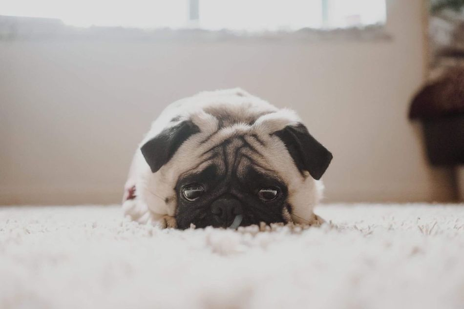 Pug Pets Dog One Animal Animal Themes No People Close-up Indoors  Puppy Cute Lovely Surface Level Animal Pug Life  Puglover