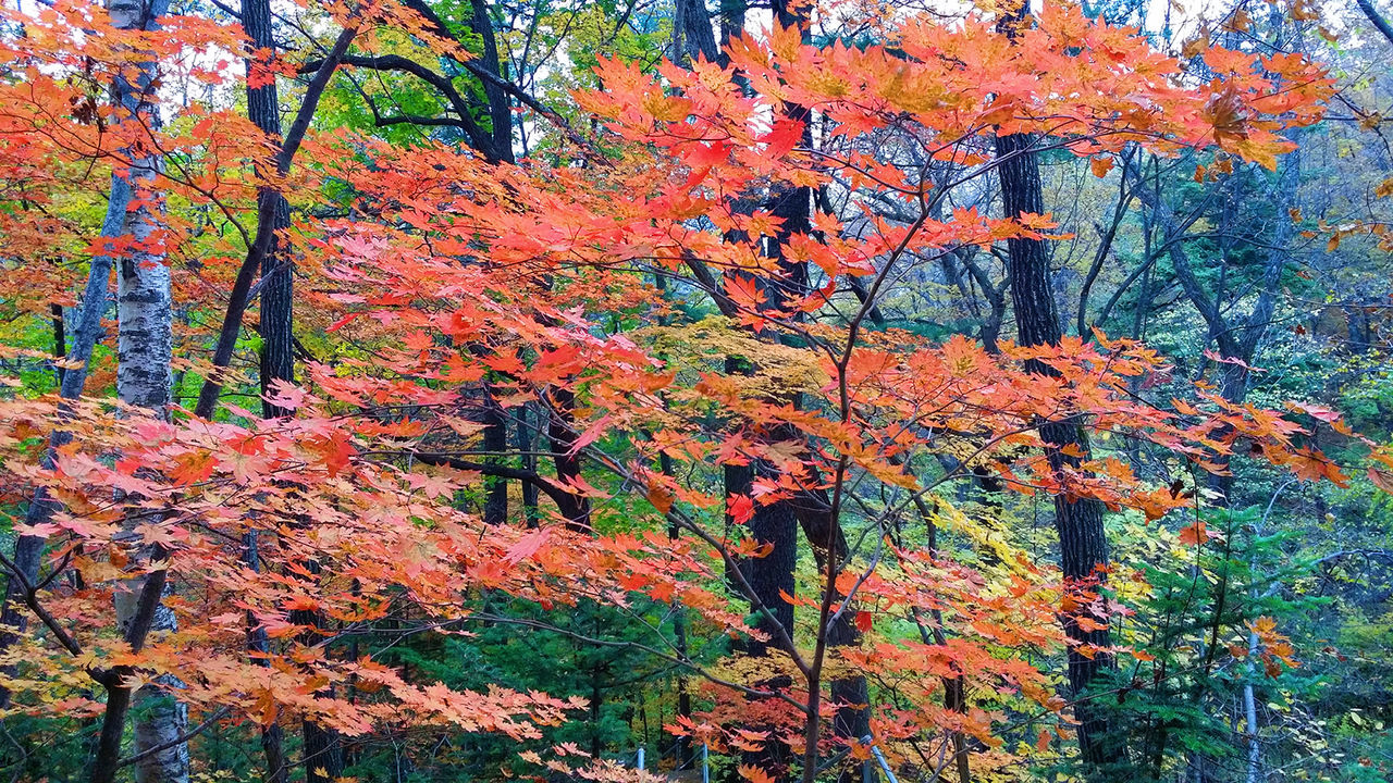 autumn, change, leaf, tree, nature, beauty in nature, forest, orange color, tranquility, outdoors, day, growth, tranquil scene, maple leaf, scenics, no people, woodland, maple tree, branch, low angle view, close-up
