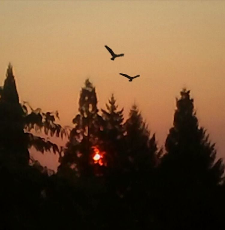Flying Sunset Silhouette Animals In The Wild Bird Animal Wildlife No People Outdoors Mid-air Animal Themes Sky Tree Nature Bird Of Prey Oregon Sunrise Willamette Valley Sunrise Morning Light Nature_collection Nature Photography EyeEm Best Shots EyeEm Gallery EyeEm Nature Lover Sunlight Nature Scenics
