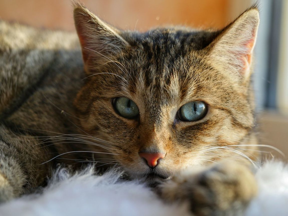 Cat Cat Lovers Catportrait Feline Feline Portraits Blue Eyes Animal_collection Animal Themes Whiskers Cat Eyes Pet Photography  Animals Animal Pets Cat_collection Cat Photography Cats Pet Pet Portrait
