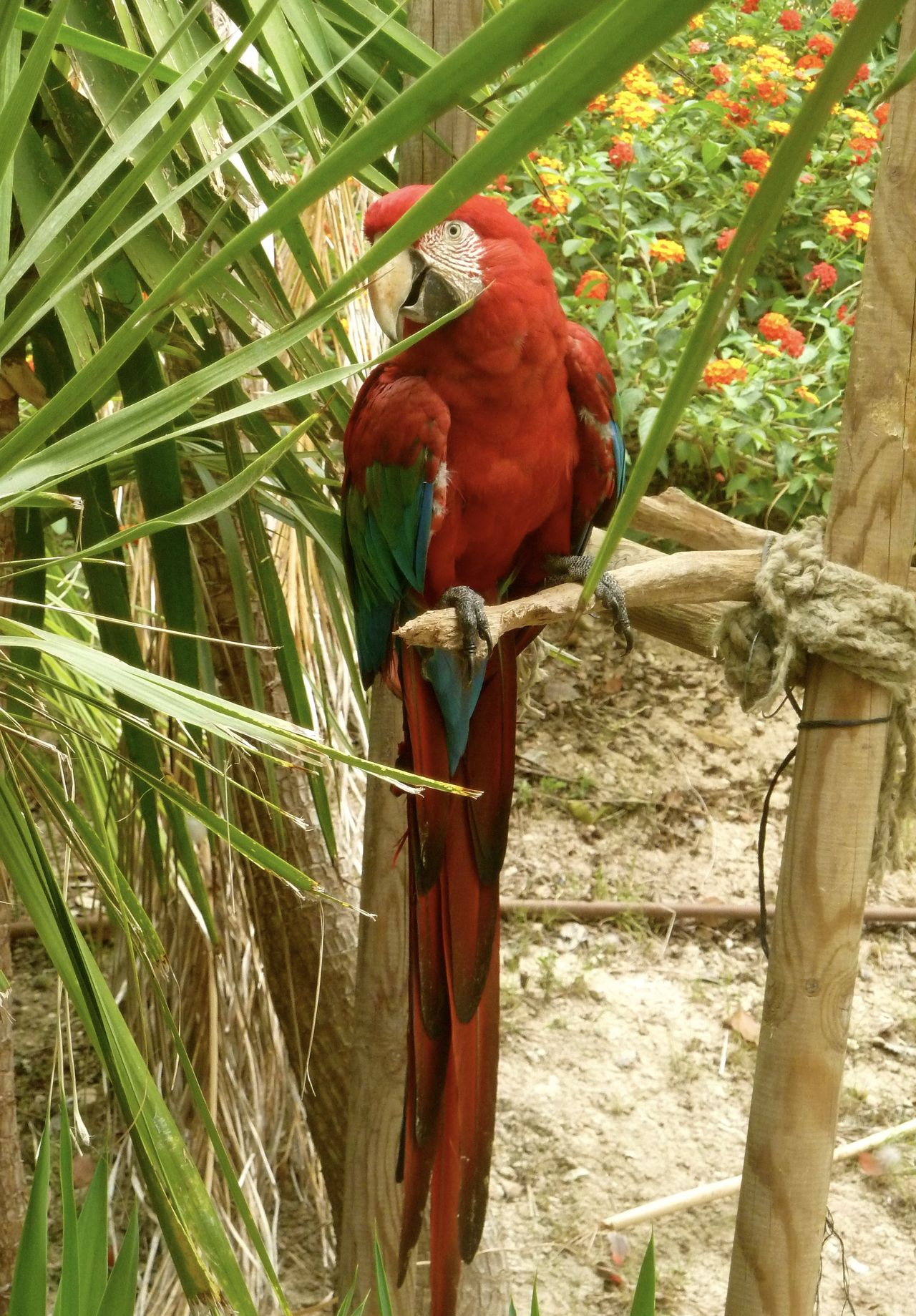 Animal Themes Bird Nature One Animal Outdoors Parrot Red Wildlife Zoo Macaws Macaw Parrot Macaw Red Macaw Portrait Getty Images Getty & Eyeem Getty & EyeEm Collection
