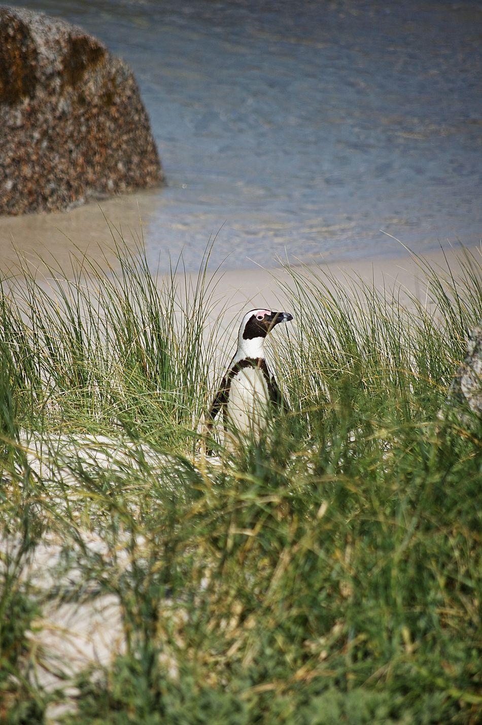 Beautiful stock photos of penguin, Animal Themes, Beach, Bird, Constantia