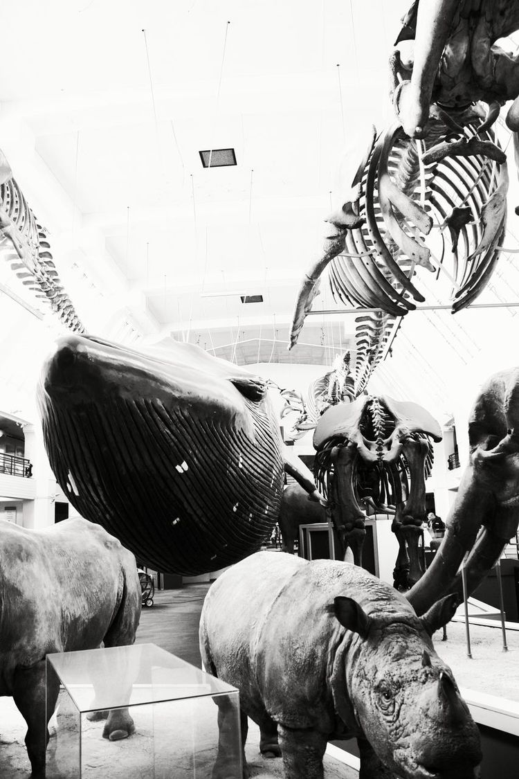 Indoors  Large Group Of Animals No People Skeletons Marching Natural Sciences Museum London Monochrome Photography Impressive Dimensions Animals Giant Hanging Objects Whale Rhino Whales