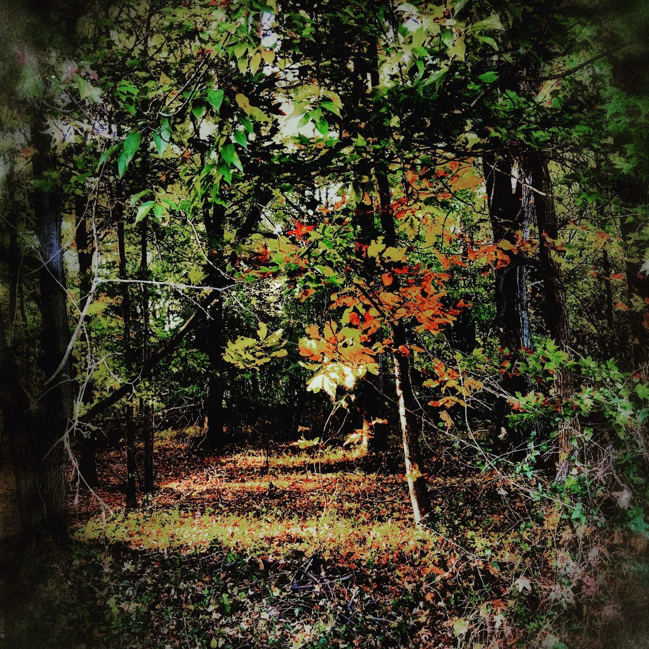 Another wooded view Growth Nature Tree Outdoors No People Beauty In Nature Day Tranquil Scene Iphonephotography Fallfoliage Fall Beauty Colorphotography Camerafilters Multi Colored Taking Pictures Tranquility Sun