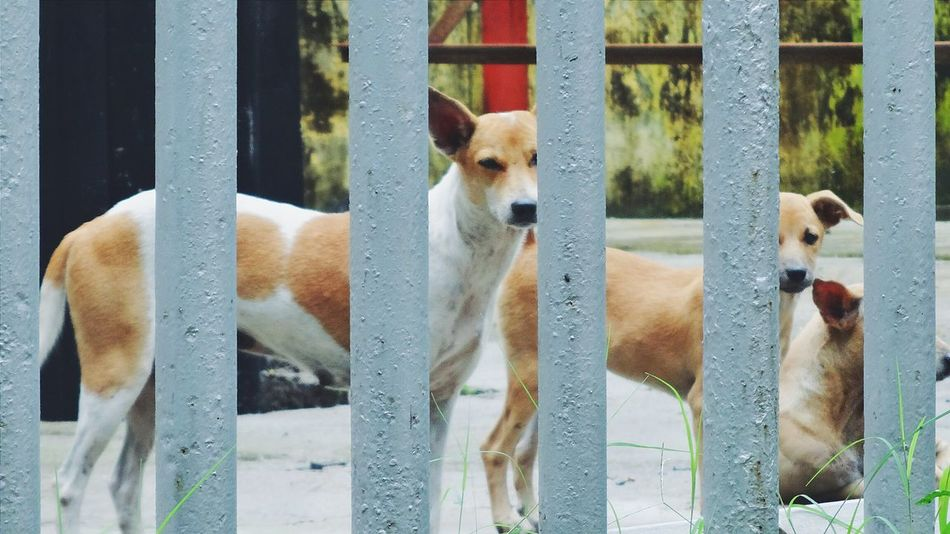 Dogs behind bars 🐕🐶😍 Dogs Puppy Cute Pets Street Dogs Streetphotography Bars Creativity Animal Themes Animals Mammals No People Protection Looking Alertness Pets Corner Dog Love Brown From My Point Of View Tamilnadu Chennai Showcase: December Tadaa Community Animal_collection Domestic Animals