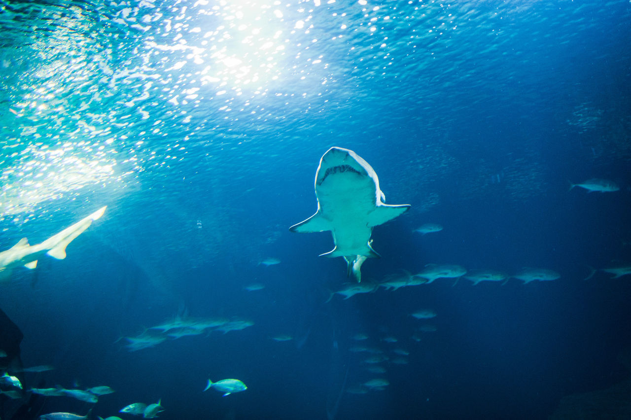 Beautiful stock photos of shark, Animal, Animal Themes, Animals In The Wild, Day