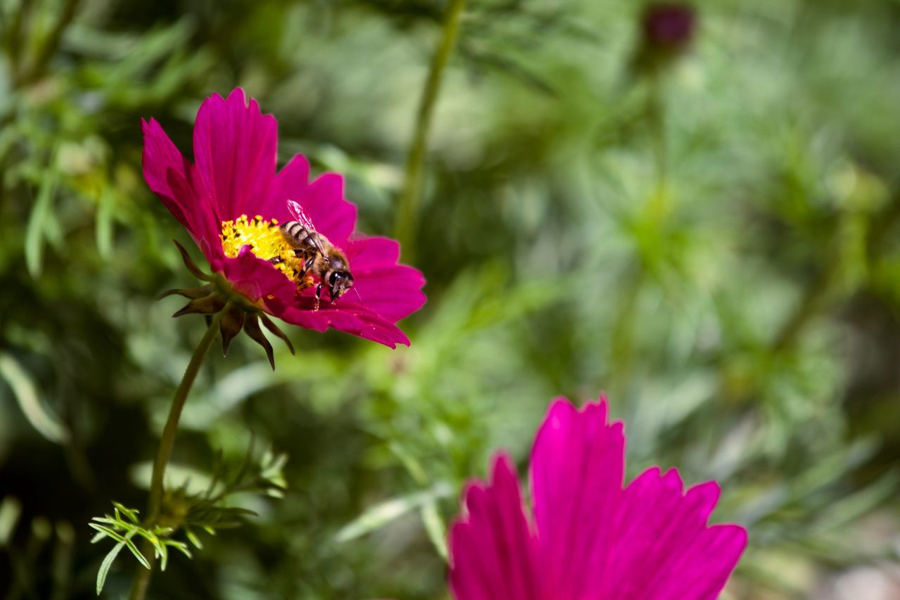 honey bee Animal Themes Animal Wildlife Animals In The Wild Beauty In Nature Bee Blooming Close-up Cosmos Flower Day Flower Flower Head Focus On Foreground Fragility Freshness Growth Insect Nature No People One Animal Outdoors Pink Color Plant Pollen Pollination