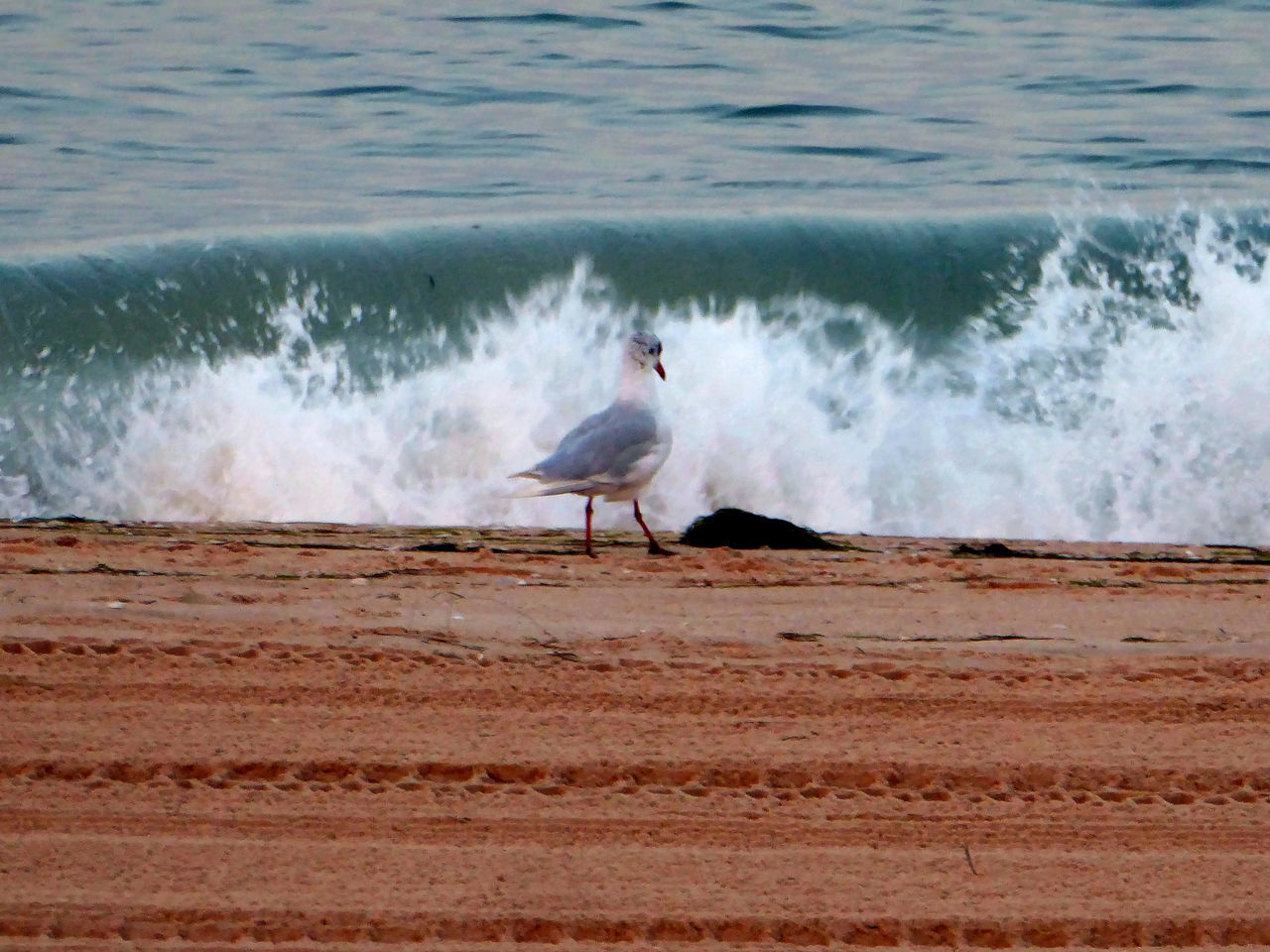 one animal, bird, nature, water, animal themes, animals in the wild, sea, day, wave, motion, beauty in nature, seagull, outdoors, no people, beach, perching