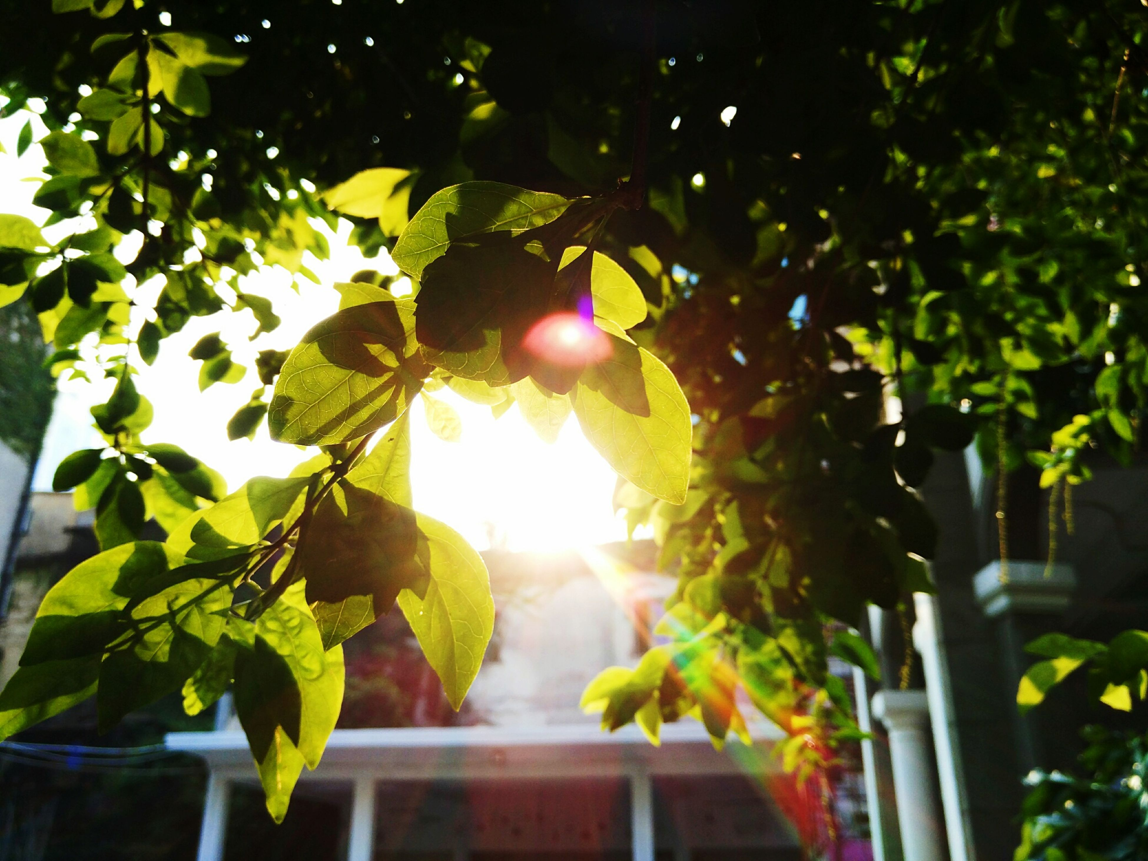 tree, leaf, low angle view, branch, growth, fruit, hanging, green color, sunlight, food and drink, close-up, nature, freshness, focus on foreground, lens flare, no people, day, lighting equipment, outdoors, sun
