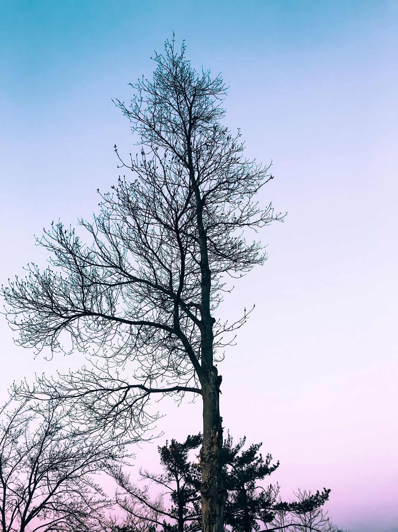 Tree Nature Low Angle View Branch Sky Bare Tree Growth No People Tranquility Beauty In Nature Outdoors Clear Sky Day Scenics Tranquil Scene Treetop Sunset Aesthetics Minimalism Beauty In Nature