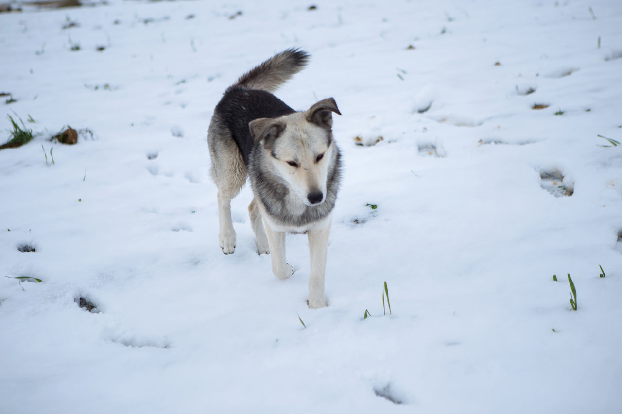 Animal Themes Beauty In Nature Cold Temperature Day Dog Domestic Animals Field Landscape Nature No People Outdoors Snow Snow Dog Storytelling Storytellingphotography Weather White Color Winter Winter Wolf