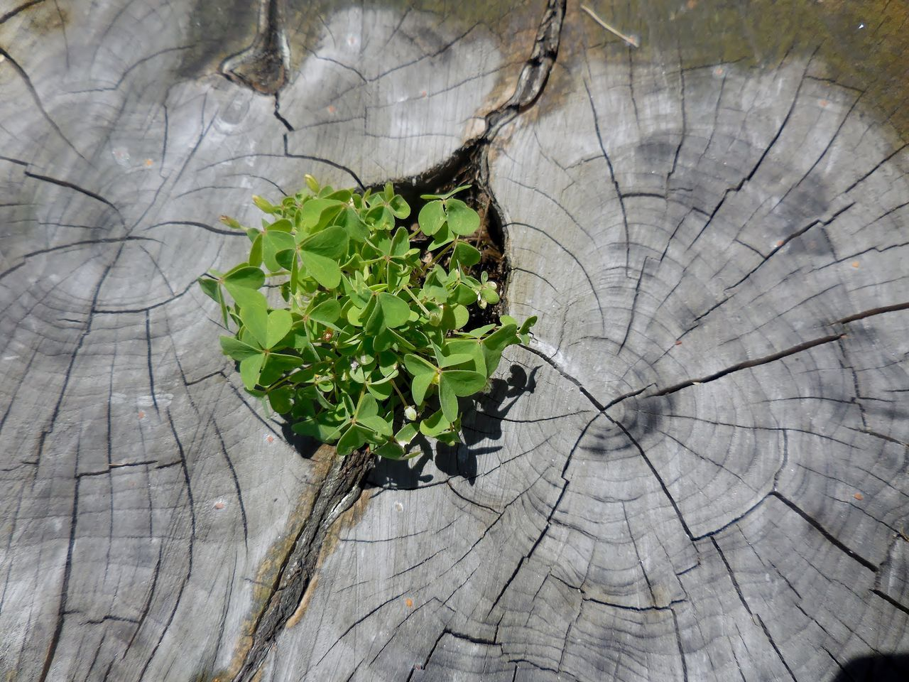 plant, nature, growth, wood - material, close-up, no people, leaf, tree, outdoors, day, tree stump, branch, textured, tree trunk, beauty in nature, tree ring, freshness