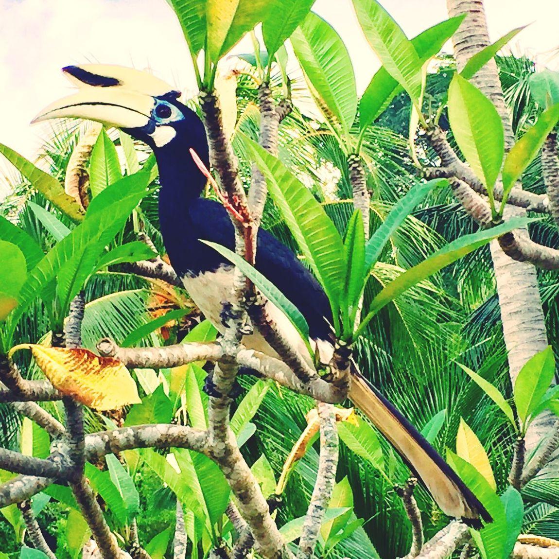 Hornbill Bird Photography Bird Tropical Climate Tropical Paradise Jungle Nature Plant Green Color Animal Themes Animals In The Wild Beauty In Nature Birds StillLifePhotography Capture The Moment IPhoneography Pankor Laut