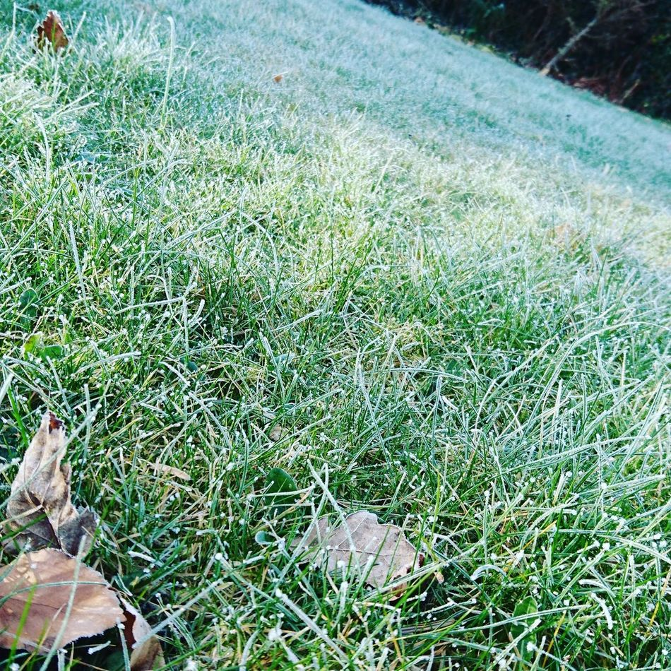 Still a wee bit of frost in the grass High Angle View Green Color Grass Nature Growth Outdoors No People Day Beauty In Nature Close-up Animal Themes Morning Frost