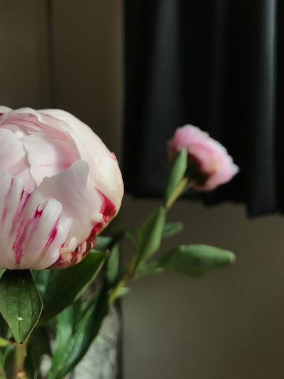 That time of year Flower Fragility Flower Head Close-up No People Blooming Indoors  Interior Peony Flower Peony  Peonies Rose Pink Pink Pink Flower Spring Flowers Spring Beauty In Nature Tranquility Unfolding