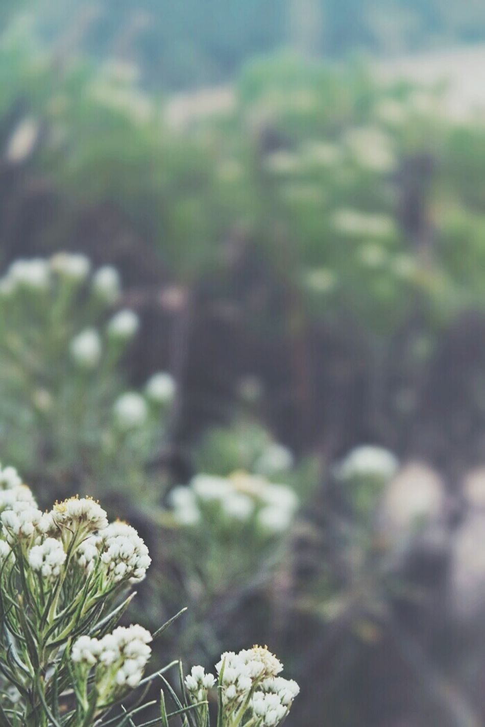 Edelweiss Flowers of Mount Semeru . Check This Out EyeEm Best Shots - Flowers EyeEm Best Shots - Nature Shootermag Beautiful Nature Mother Earth Holiday POV