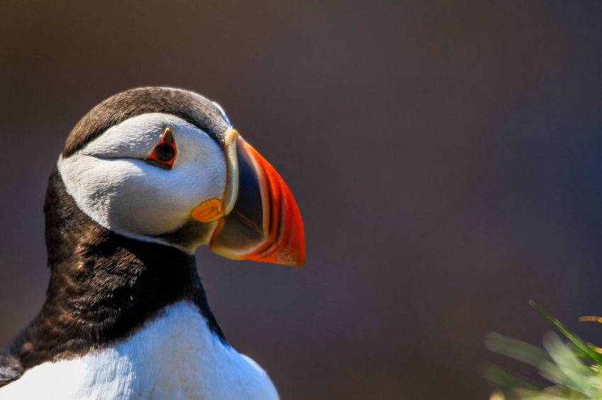 Animal Themes Animals In The Wild Beak Bird Close-up Day No People One Animal Puffin Puffins