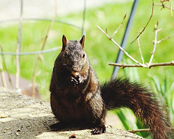 One Animal Animal Themes Mammal Animals In The Wild Focus On Foreground No People Day Nature Animal Wildlife Outdoors Wildlife Photography Photooftheday Kent Ohio Squirrel Canonphotography Canon
