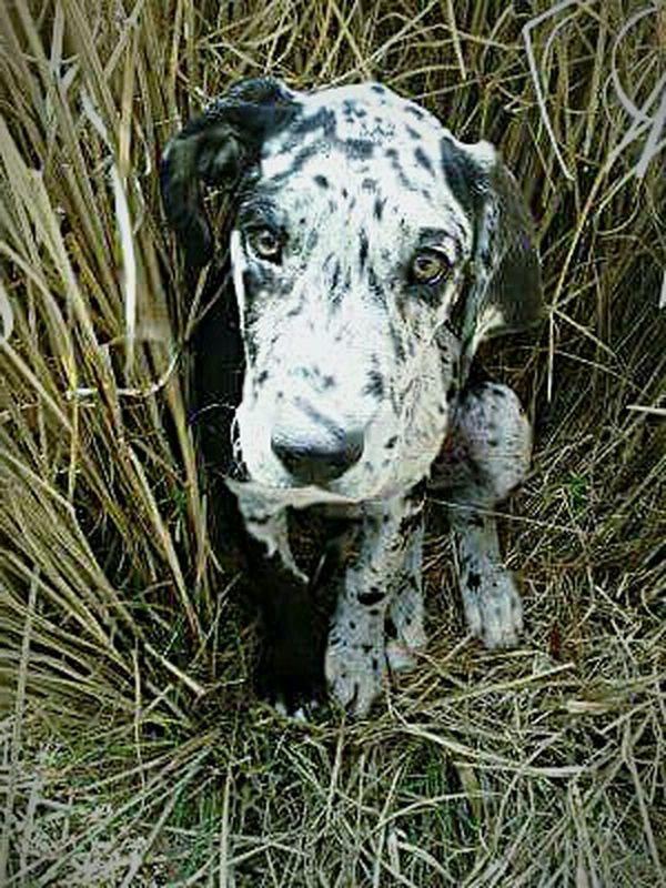 My girl Greatdanes Puppy Love Puppies Puppies Of Eyeem PuppyLove Bigdog Blackandwhitedog Greatdanepuppy