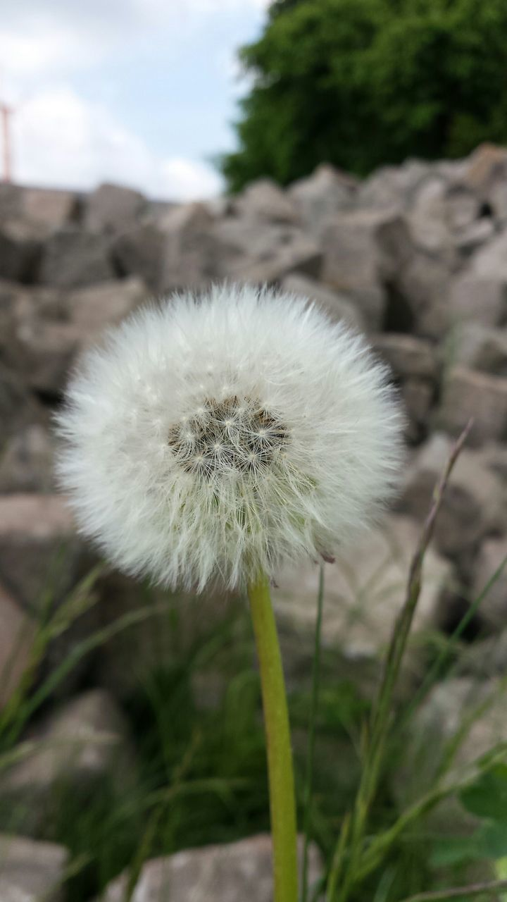 flower, growth, fragility, nature, dandelion, plant, focus on foreground, close-up, softness, freshness, uncultivated, beauty in nature, wildflower, outdoors, flower head, day, no people