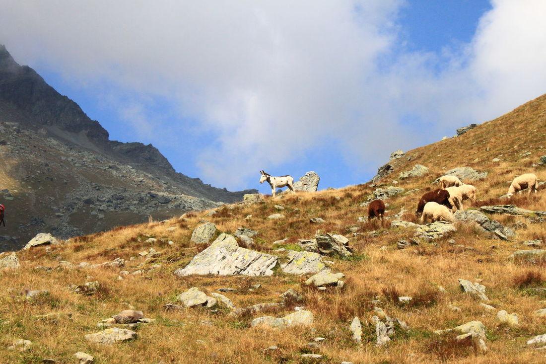 Cloud - Sky Donkey Mountain Nature Outdoors Sheep Val D'Aosta Val D'Ayas