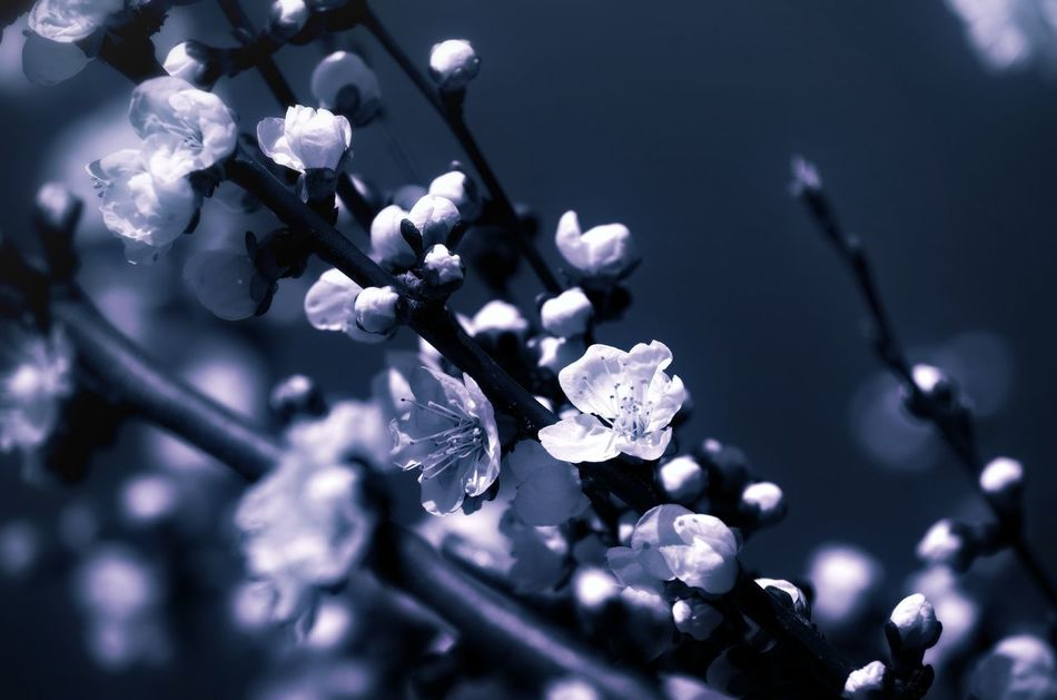 Outdoors Blooming Flower Blooming White Flower Flower Blossom Tree Blossom Apricot Flowers ApricotBlossom Apricot Tree Beauty In Nature Fragility Flower Head Freshness Outdoor Photography Backgrounds Growth Patterns In Nature Midnight Night Midnight Blue Spring Spring Time Springtime Darkness And Light