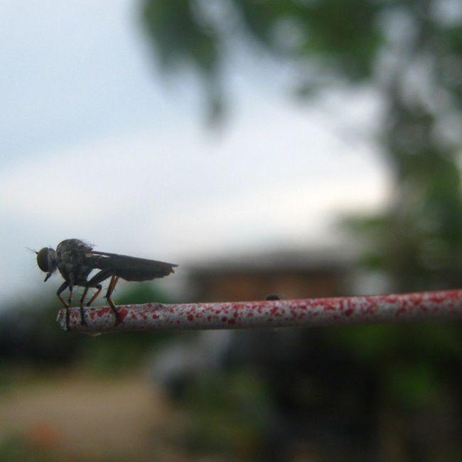[ nyamuk ] Mosquito Animal Nature Waykanan lampung indonesia asia instanusantara instanaturelover instanusantaranature photooftheday picoftheday